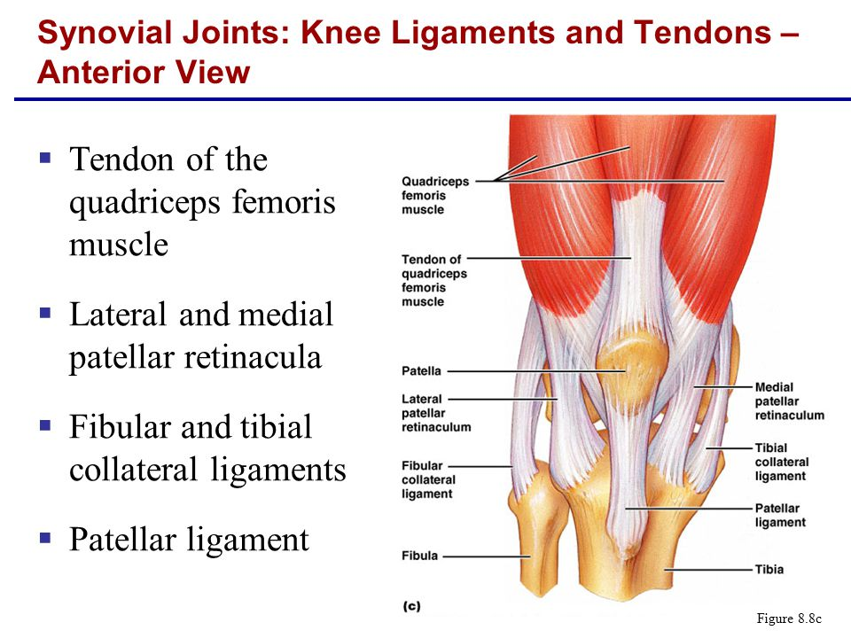  Tendon of the quadriceps femoris muscle  Lateral and medial patellar retinacula  Fibular and tibial collateral ligaments  Patellar ligament Synovial Joints: Knee Ligaments and Tendons – Anterior View Figure 8.8c
