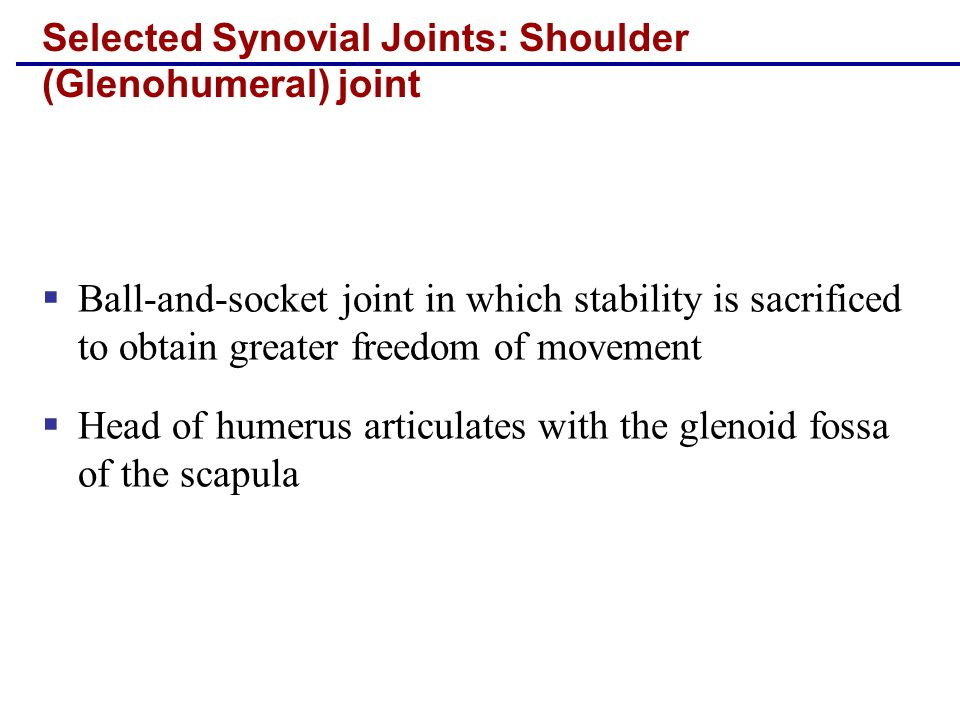 Selected Synovial Joints: Shoulder (Glenohumeral) joint  Ball-and-socket joint in which stability is sacrificed to obtain greater freedom of movement  Head of humerus articulates with the glenoid fossa of the scapula