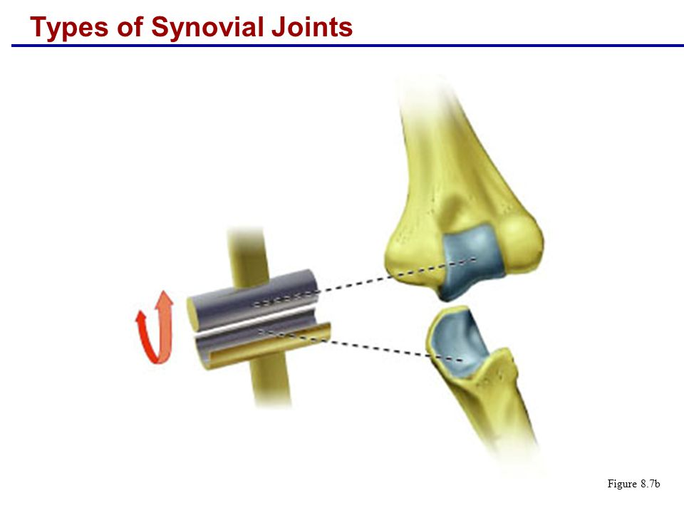 Types of Synovial Joints Figure 8.7b