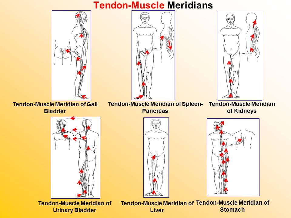 Tendon-Muscle Meridians Tendon-Muscle Meridian of Gall Bladder Tendon-Muscle Meridian of Spleen- Pancreas Tendon-Muscle Meridian of Kidneys Tendon-Muscle Meridian of Urinary Bladder Tendon-Muscle Meridian of Liver Tendon-Muscle Meridian of Stomach