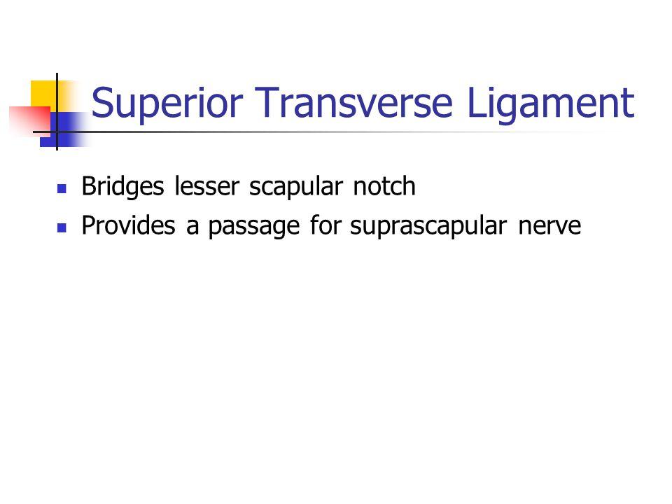Superior Transverse Ligament Bridges lesser scapular notch Provides a passage for suprascapular nerve