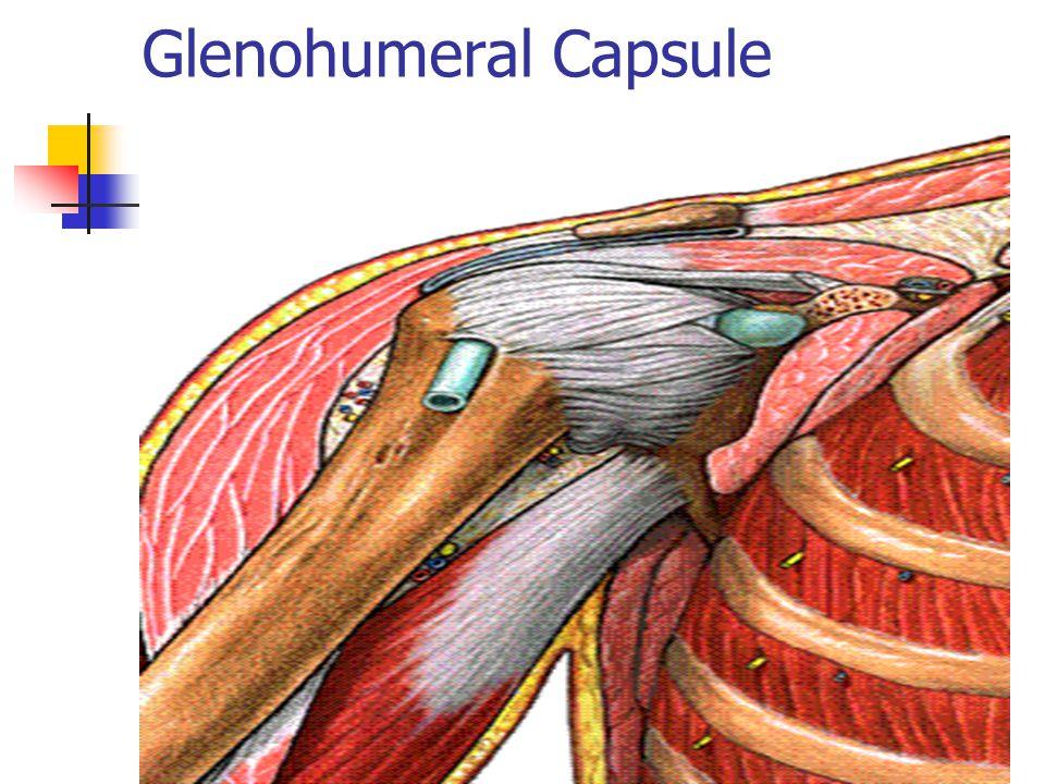 Glenohumeral Capsule
