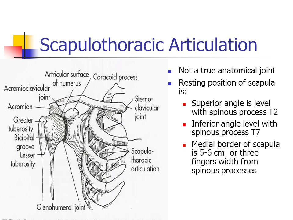 Scapulothoracic Articulation Not a true anatomical joint Resting position of scapula is: Superior angle is level with spinous process T2 Inferior angl