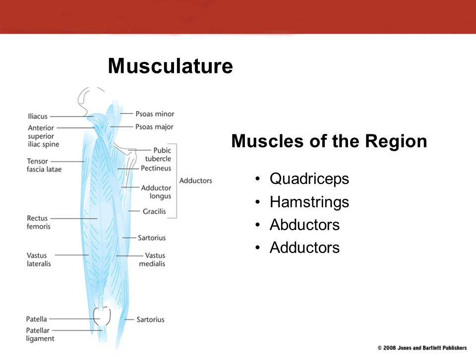Musculature Muscles of the Region Quadriceps Hamstrings Abductors Adductors