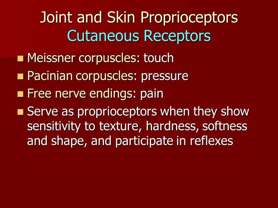 Joint and Skin Proprioceptors Cutaneous Receptors Meissner corpuscles: touch Meissner corpuscles: touch Pacinian corpuscles: pressure Pacinian corpuscles: pressure Free nerve endings: pain Free nerve endings: pain Serve as proprioceptors when they show sensitivity to texture, hardness, softness and shape, and participate in reflexes Serve as proprioceptors when they show sensitivity to texture, hardness, softness and shape, and participate in reflexes