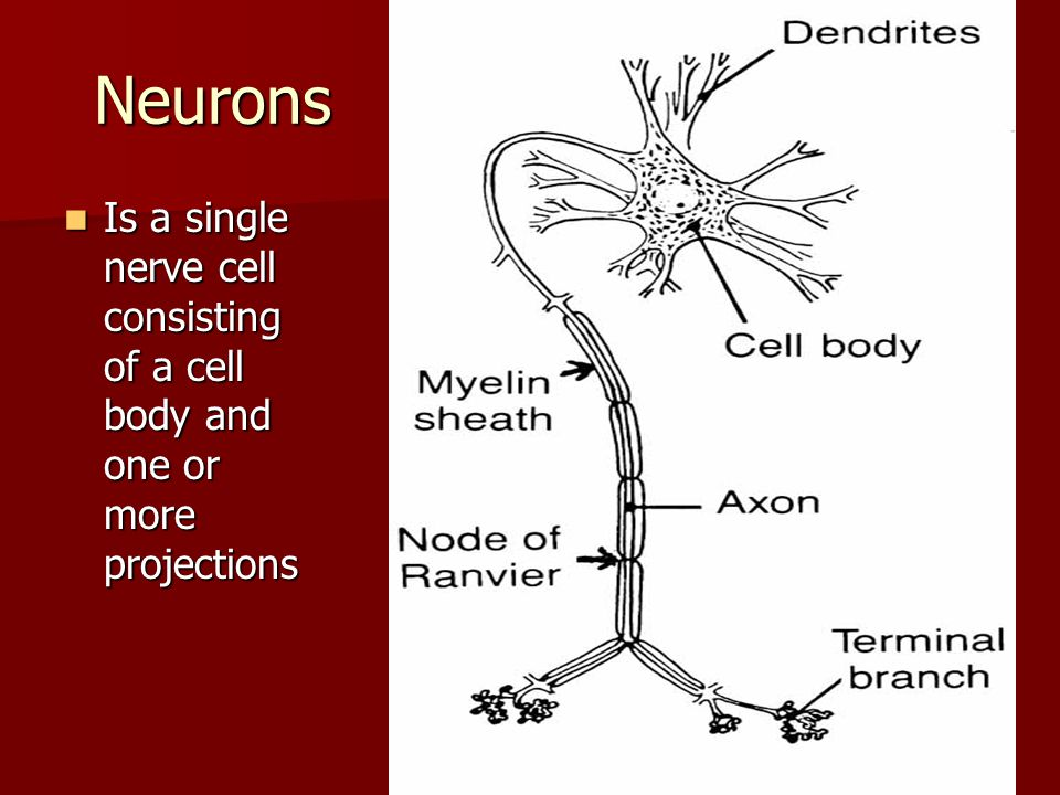 Neurons Is a single nerve cell consisting of a cell body and one or more projections Is a single nerve cell consisting of a cell body and one or more projections