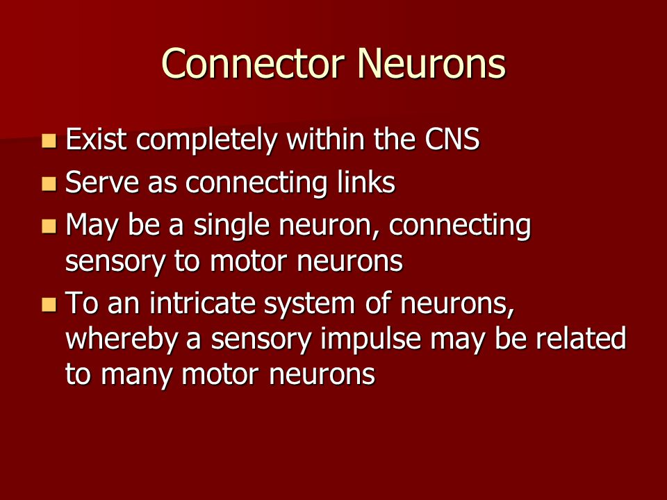 Connector Neurons Exist completely within the CNS Exist completely within the CNS Serve as connecting links Serve as connecting links May be a single neuron, connecting sensory to motor neurons May be a single neuron, connecting sensory to motor neurons To an intricate system of neurons, whereby a sensory impulse may be related to many motor neurons To an intricate system of neurons, whereby a sensory impulse may be related to many motor neurons