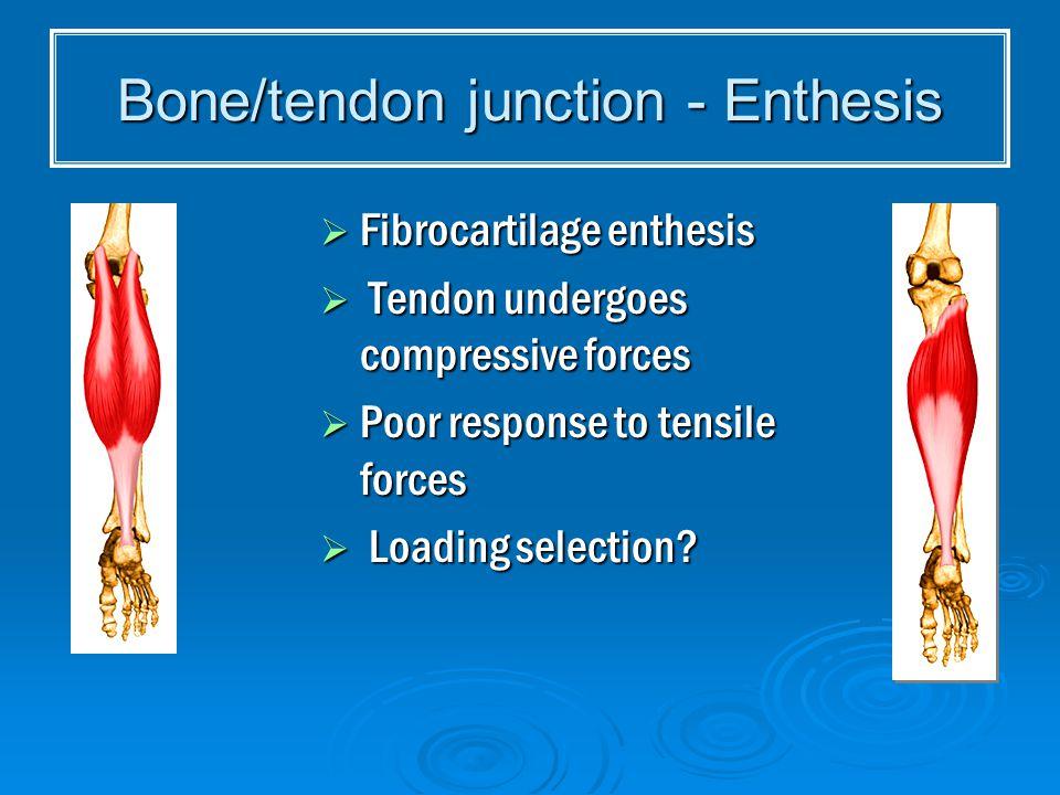 Bone/tendon junction - Enthesis  Fibrocartilage enthesis  Tendon undergoes compressive forces  Poor response to tensile forces  Loading selection