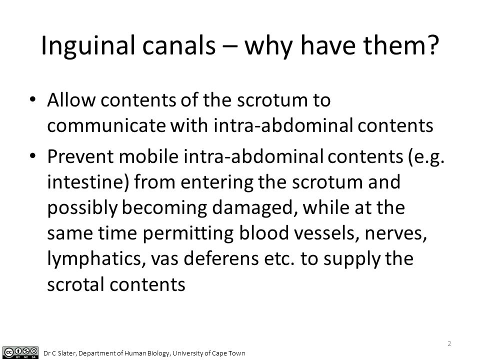 Inguinal canals – why have them? Allow contents of the scrotum to communicate with intra-abdominal contents Prevent mobile intra-abdominal contents (e