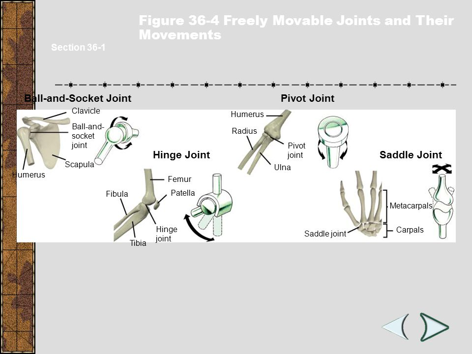 Types of Joints 1.Immovable joint 2.Ball-and-socket joint 3.Hinge joint 4.Gliding joint