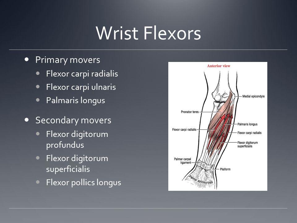 Wrist Flexors Primary movers Flexor carpi radialis Flexor carpi ulnaris Palmaris longus Secondary movers Flexor digitorum profundus Flexor digitorum s
