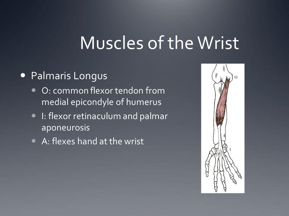 Muscles of the Wrist Palmaris Longus O: common flexor tendon from medial epicondyle of humerus I: flexor retinaculum and palmar aponeurosis A: flexes