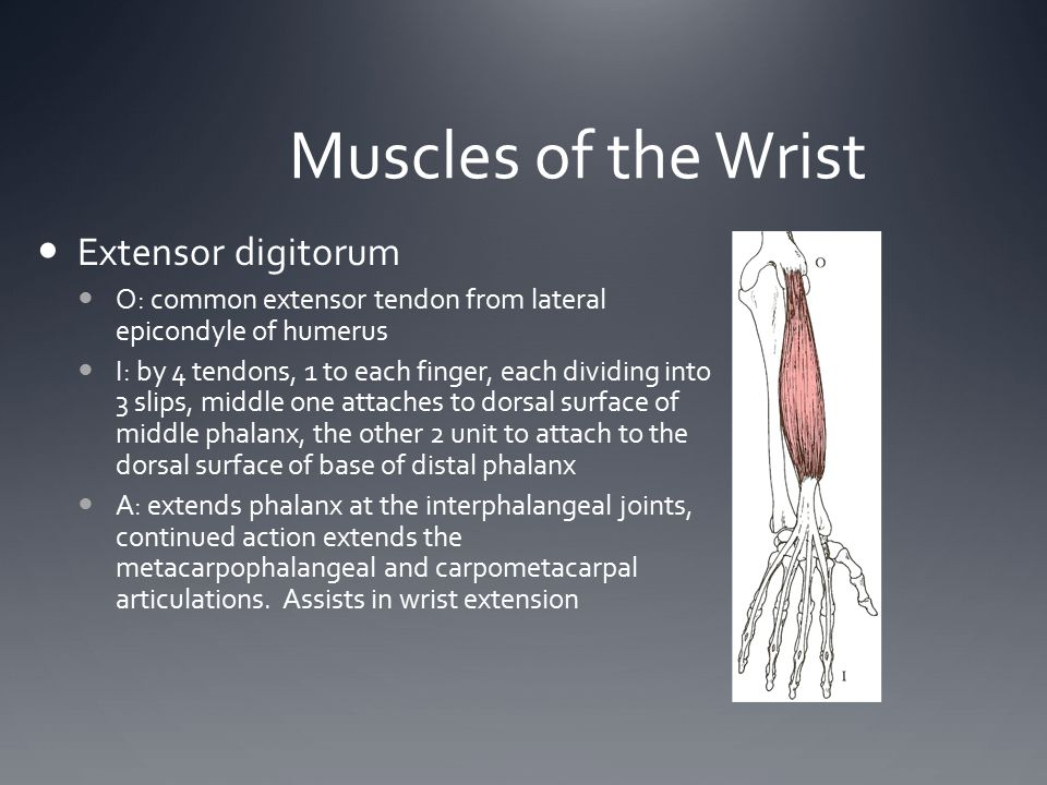Muscles of the Wrist Extensor digitorum O: common extensor tendon from lateral epicondyle of humerus I: by 4 tendons, 1 to each finger, each dividing