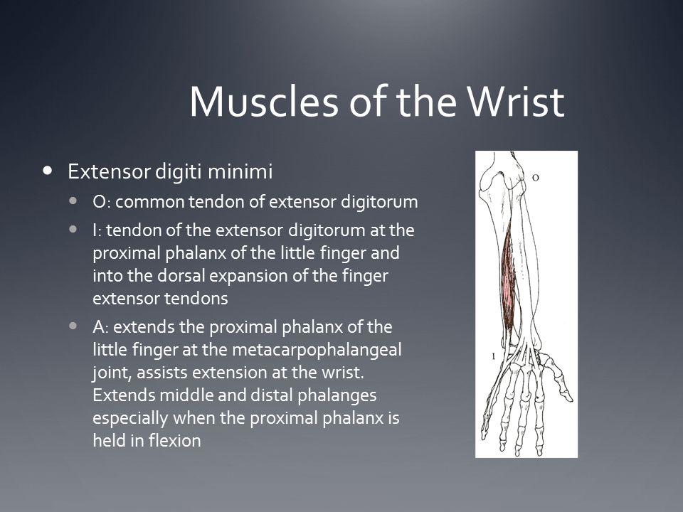 Muscles of the Wrist Extensor digiti minimi O: common tendon of extensor digitorum I: tendon of the extensor digitorum at the proximal phalanx of the