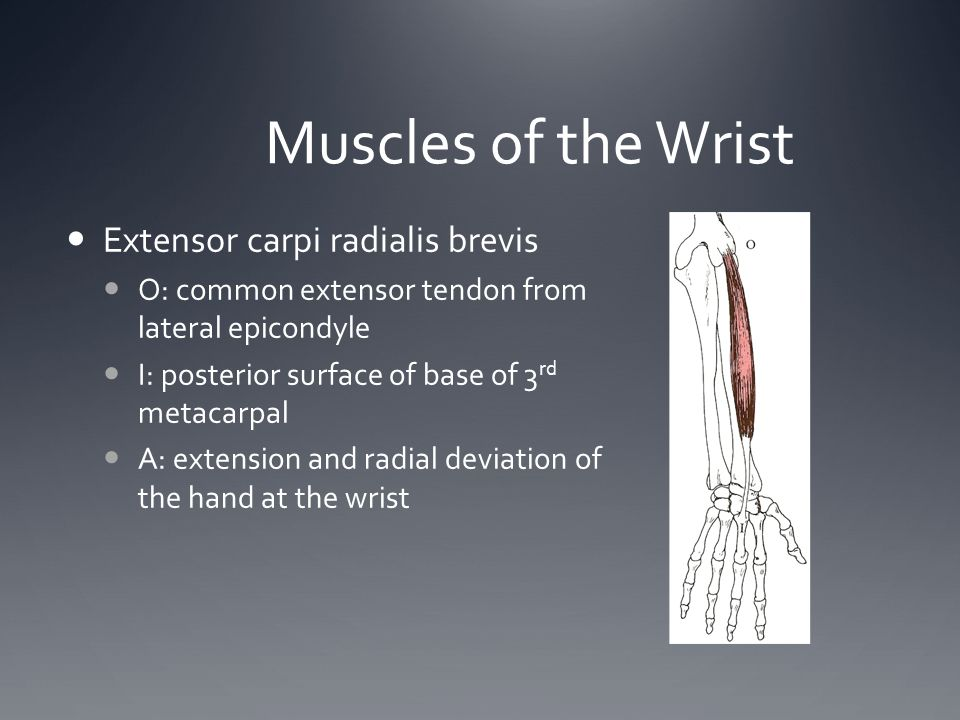 Muscles of the Wrist Extensor carpi radialis brevis O: common extensor tendon from lateral epicondyle I: posterior surface of base of 3 rd metacarpal