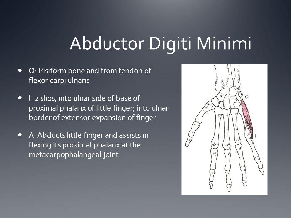 Abductor Digiti Minimi O: Pisiform bone and from tendon of flexor carpi ulnaris I: 2 slips; into ulnar side of base of proximal phalanx of little fing