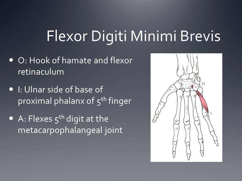Flexor Digiti Minimi Brevis O: Hook of hamate and flexor retinaculum I: Ulnar side of base of proximal phalanx of 5 th finger A: Flexes 5 th digit at