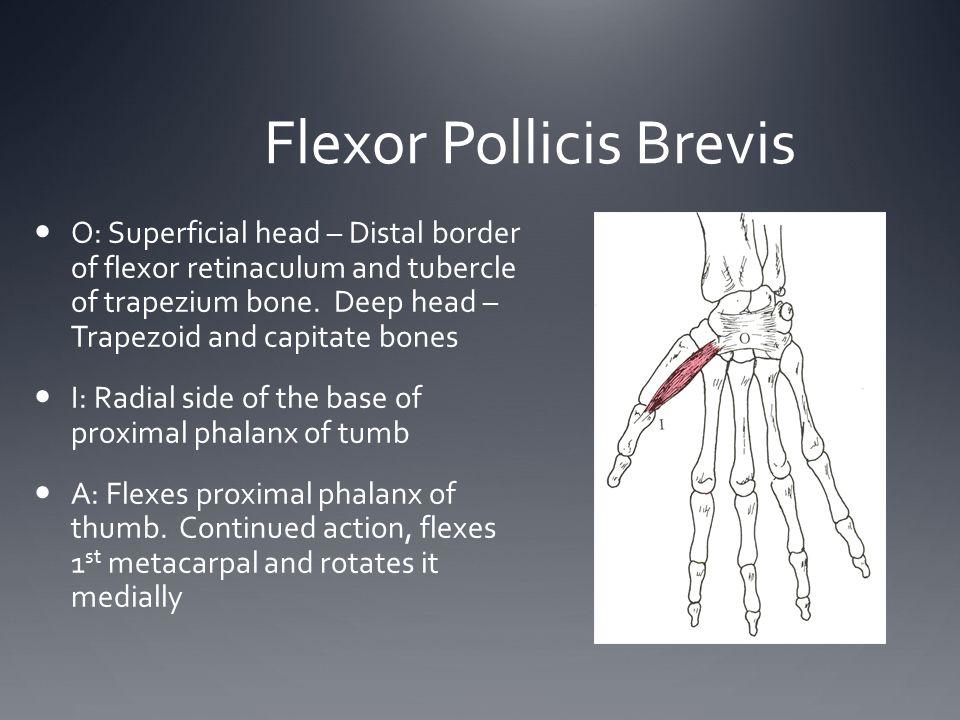 Flexor Pollicis Brevis O: Superficial head – Distal border of flexor retinaculum and tubercle of trapezium bone. Deep head – Trapezoid and capitate bo