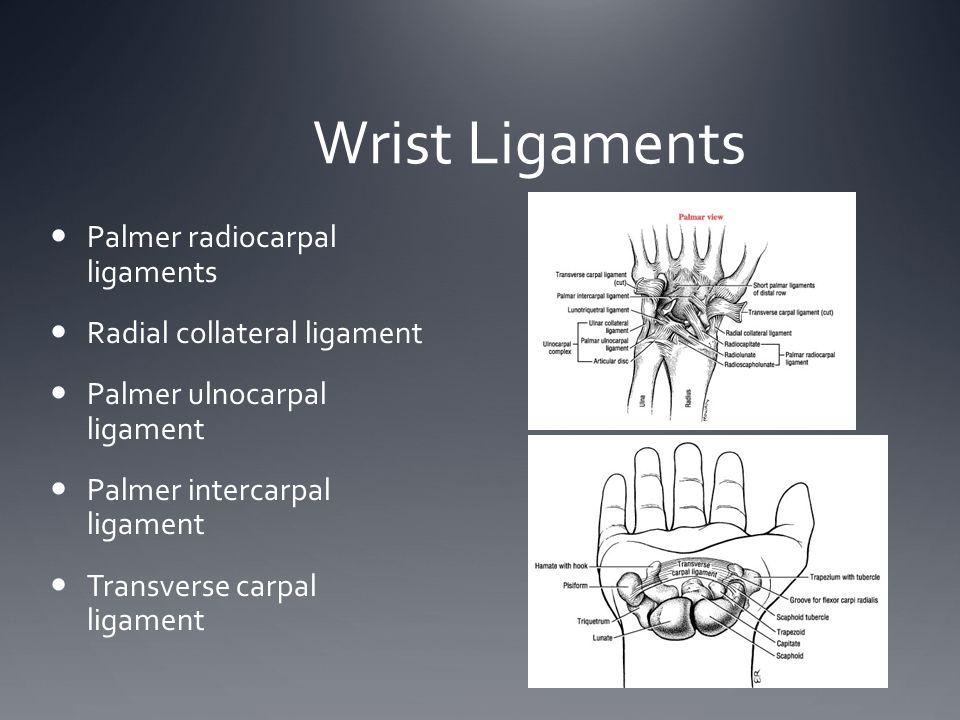 Wrist Ligaments Palmer radiocarpal ligaments Radial collateral ligament Palmer ulnocarpal ligament Palmer intercarpal ligament Transverse carpal ligam