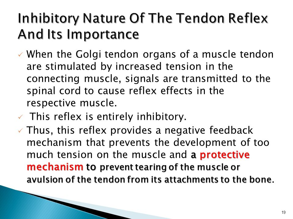  When the Golgi tendon organs of a muscle tendon are stimulated by increased tension in the connecting muscle, signals are transmitted to the spinal cord to cause reflex effects in the respective muscle.