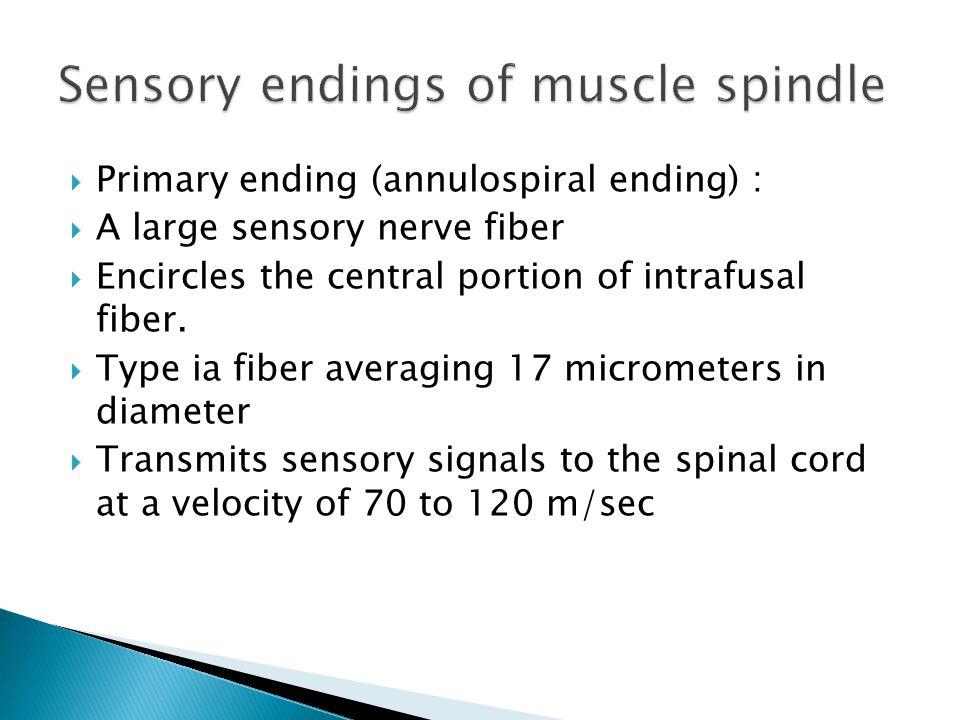  Primary ending (annulospiral ending) :  A large sensory nerve fiber  Encircles the central portion of intrafusal fiber.