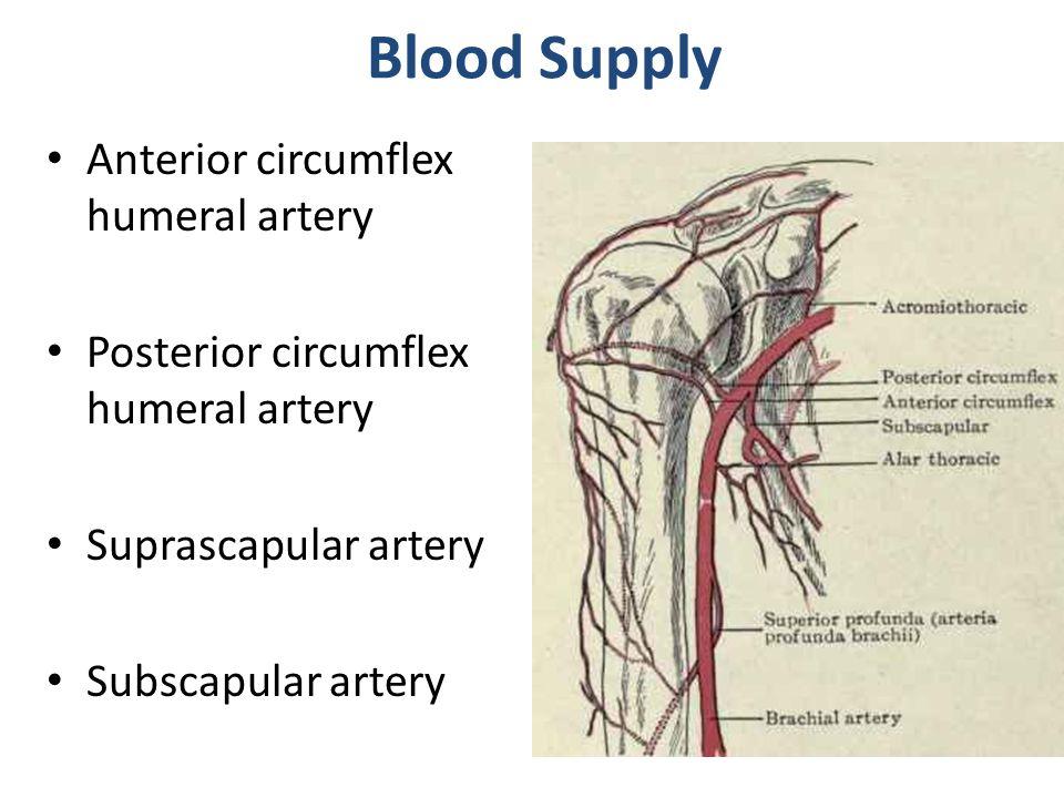 Posterior humeral circumflex artery