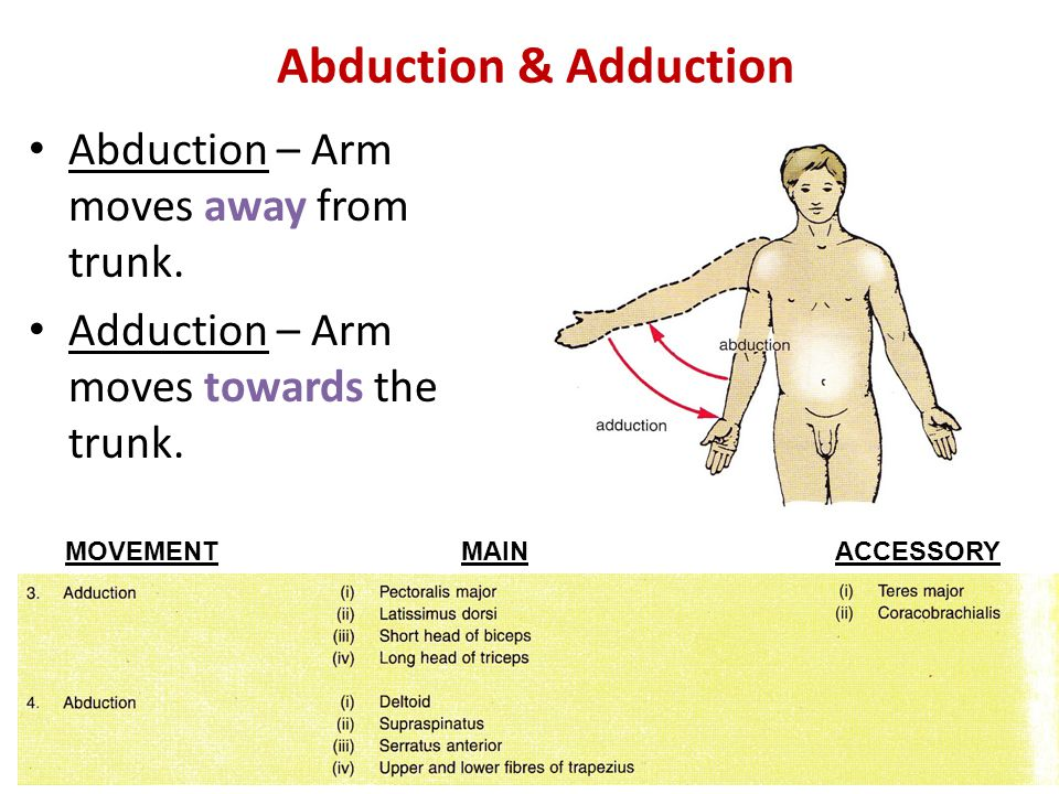 Abduction – Arm moves away from trunk. Adduction – Arm moves towards the trunk. Abduction & Adduction MAINACCESSORYMOVEMENT