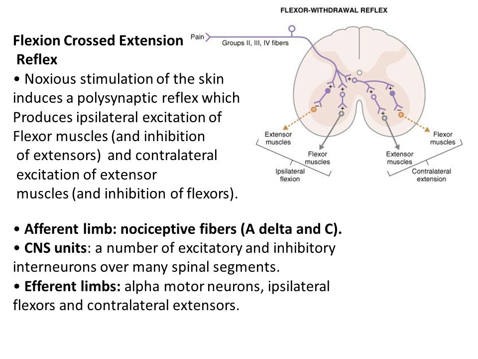 Flexion Crossed Extension Reflex Noxious stimulation of the skin induces a polysynaptic reflex which Produces ipsilateral excitation of Flexor muscles