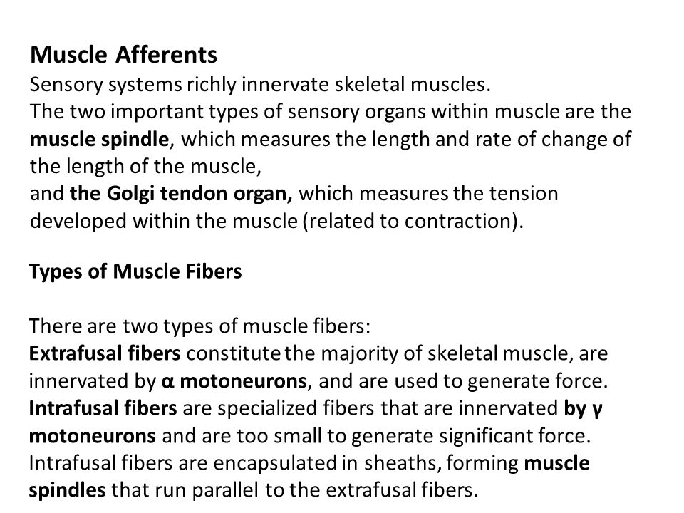 Muscle Afferents Sensory systems richly innervate skeletal muscles. The two important types of sensory organs within muscle are the muscle spindle, wh