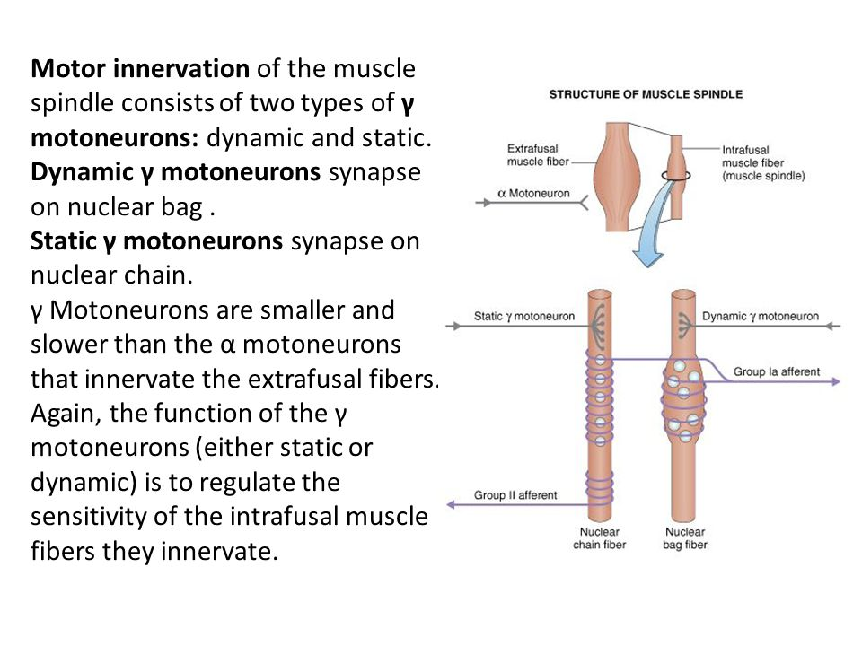 Motor innervation of the muscle spindle consists of two types of γ motoneurons: dynamic and static. Dynamic γ motoneurons synapse on nuclear bag. Stat