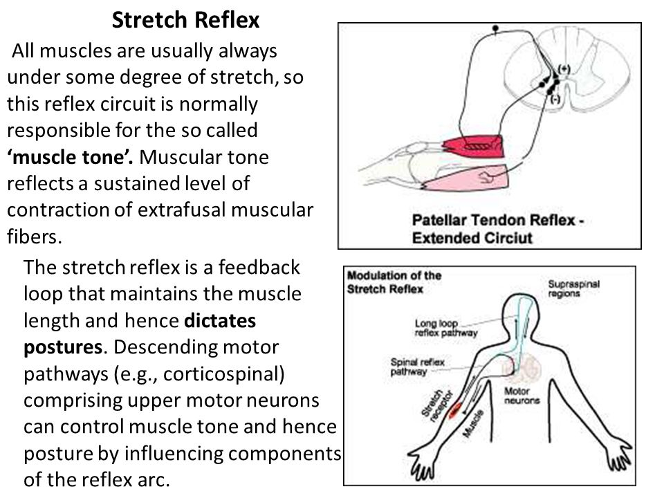 Stretch Reflex All muscles are usually always under some degree of stretch, so this reflex circuit is normally responsible for the so called 'muscle t