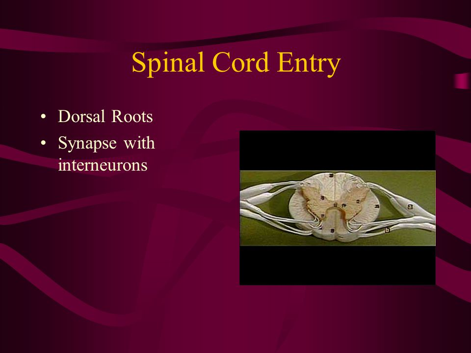 Spinal Cord Entry Dorsal Roots Synapse with interneurons