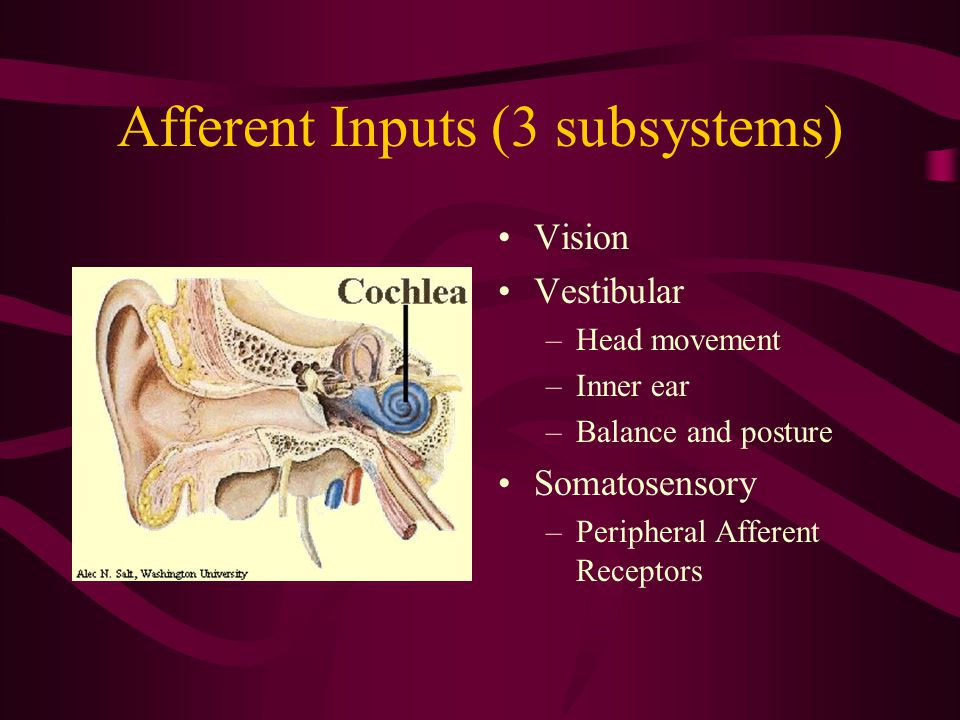 Afferent Inputs (3 subsystems) Vision Vestibular –Head movement –Inner ear –Balance and posture Somatosensory –Peripheral Afferent Receptors