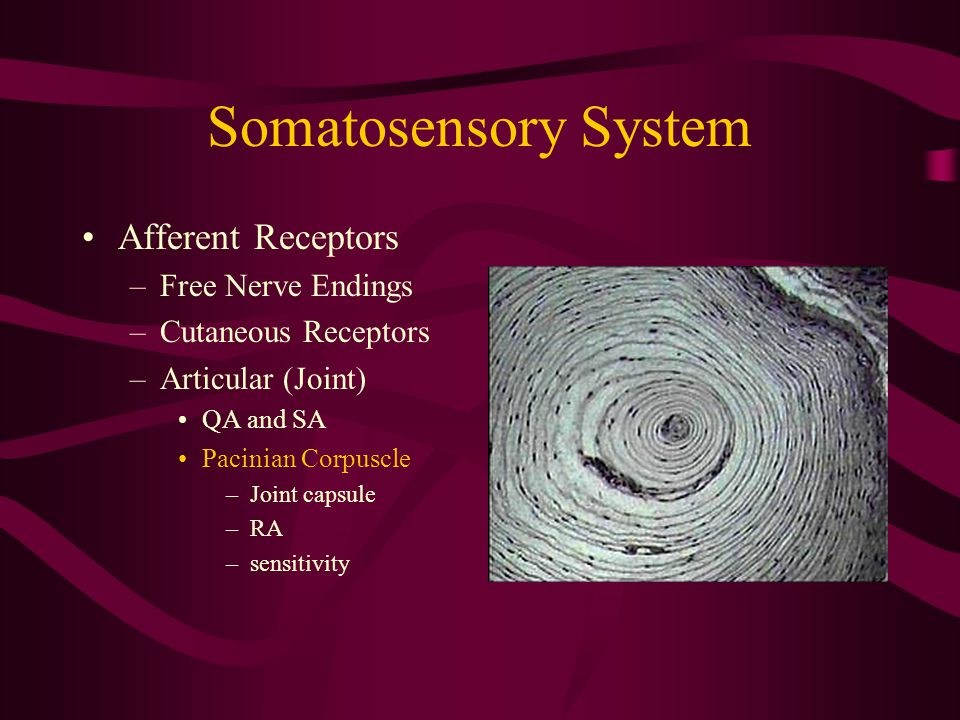 Somatosensory System Afferent Receptors –Free Nerve Endings –Cutaneous Receptors –Articular (Joint) QA and SA Pacinian Corpuscle –Joint capsule –RA –sensitivity