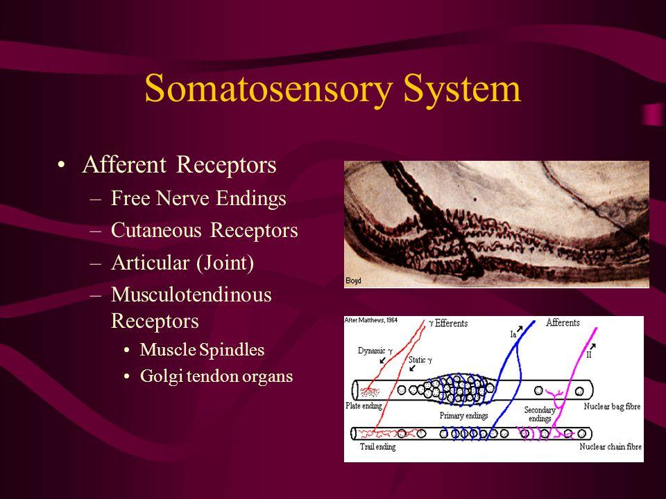 Somatosensory System Afferent Receptors –Free Nerve Endings –Cutaneous Receptors –Articular (Joint) –Musculotendinous Receptors Muscle Spindles Golgi