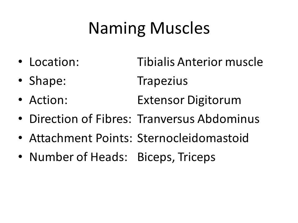 Naming Muscles Location: Tibialis Anterior muscle Shape:Trapezius Action:Extensor Digitorum Direction of Fibres:Tranversus Abdominus Attachment Points