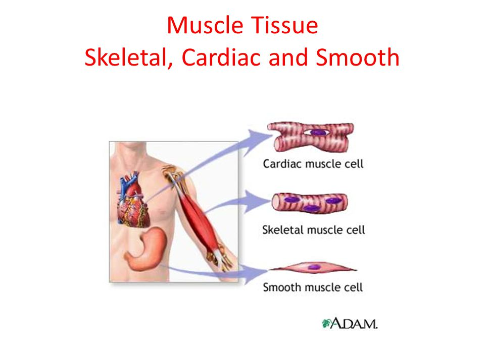 Cardiac Muscle Found only in the heart.