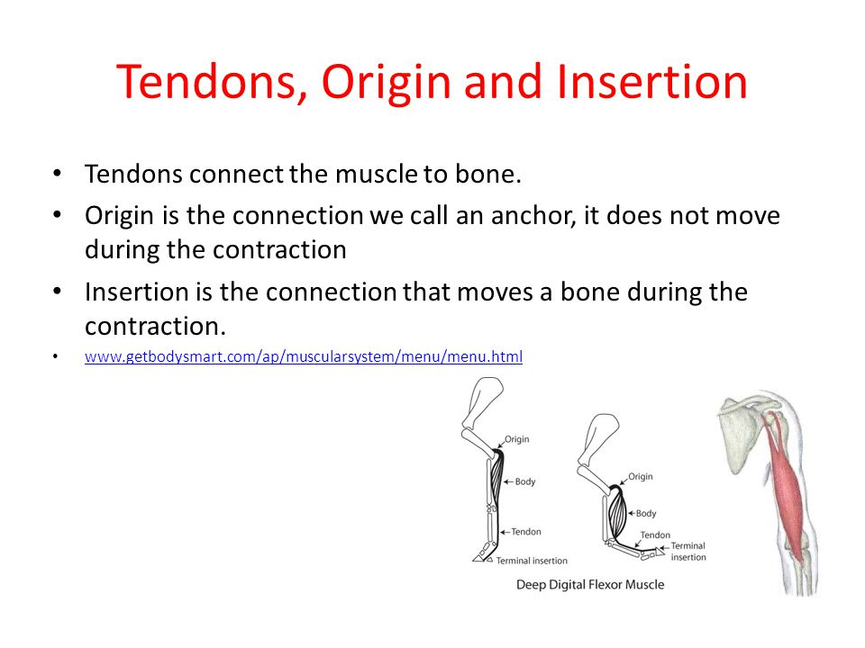 Tendons, Origin and Insertion Tendons connect the muscle to bone. Origin is the connection we call an anchor, it does not move during the contraction