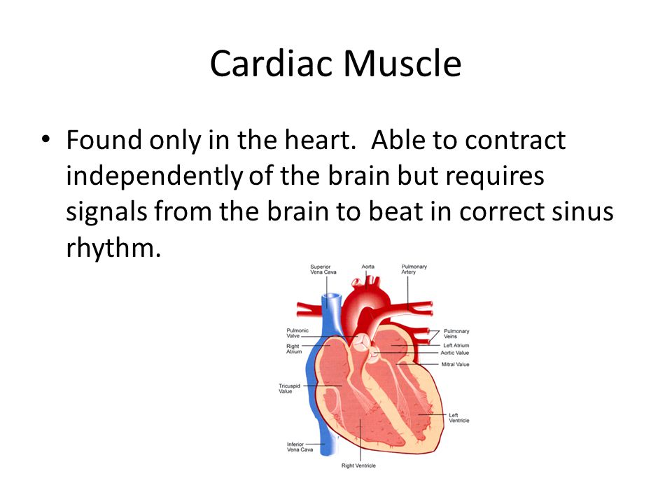 Cardiac Muscle Found only in the heart. Able to contract independently of the brain but requires signals from the brain to beat in correct sinus rhyth