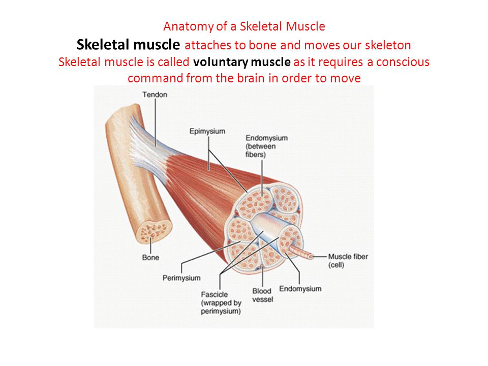 Anatomy of a Skeletal Muscle Skeletal muscle attaches to bone and moves our skeleton Skeletal muscle is called voluntary muscle as it requires a consc
