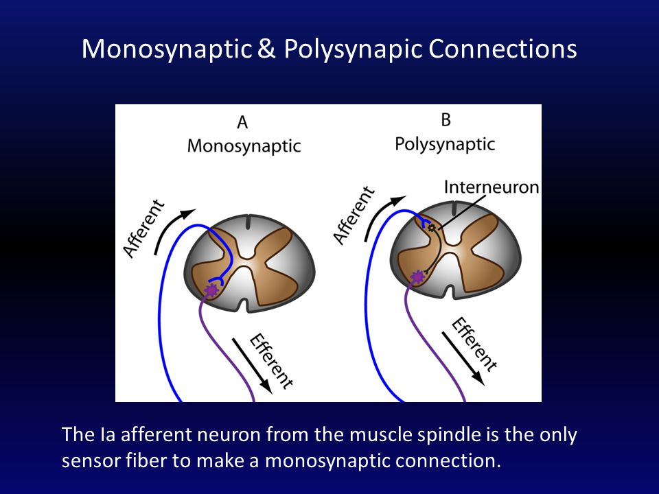 Monosynaptic & Polysynapic Connections The Ia afferent neuron from the muscle spindle is the only sensor fiber to make a monosynaptic connection.