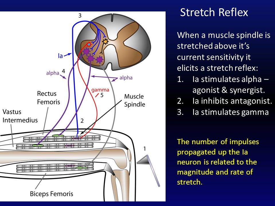 When a muscle spindle is stretched above it's current sensitivity it elicits a stretch reflex: 1.Ia stimulates alpha – agonist & synergist.
