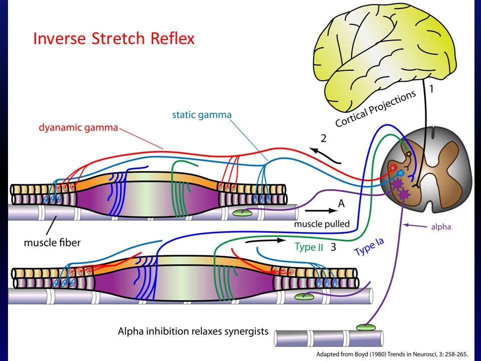 Inverse Stretch Reflex