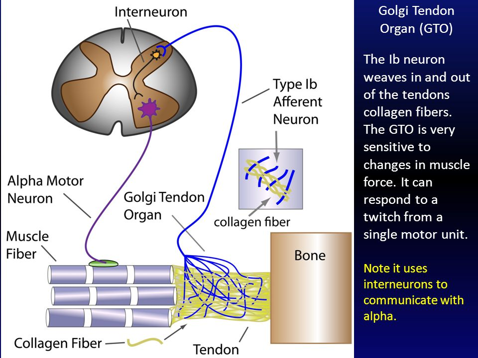 The Ib neuron weaves in and out of the tendons collagen fibers. The GTO is very sensitive to changes in muscle force. It can respond to a twitch from