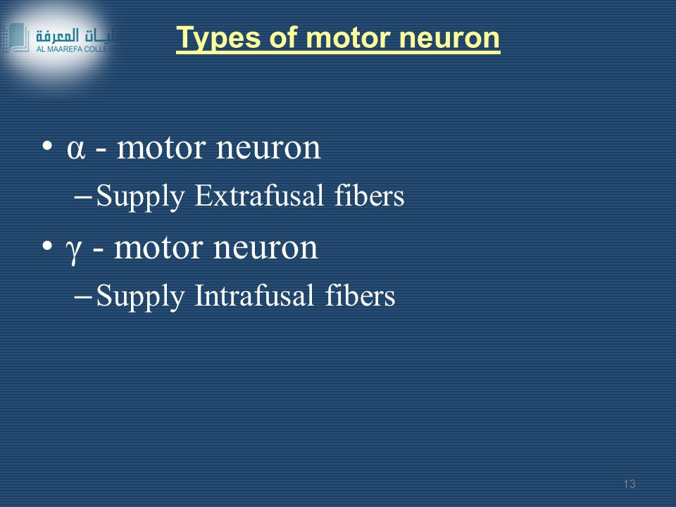 Types of motor neuron α - motor neuron – Supply Extrafusal fibers γ - motor neuron – Supply Intrafusal fibers 13
