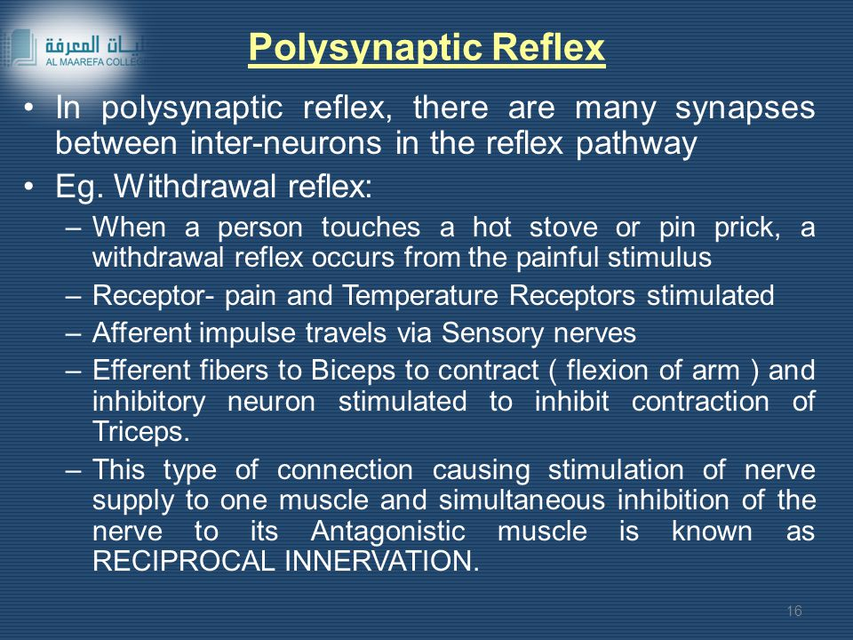 Polysynaptic Reflex In polysynaptic reflex, there are many synapses between inter-neurons in the reflex pathway Eg.