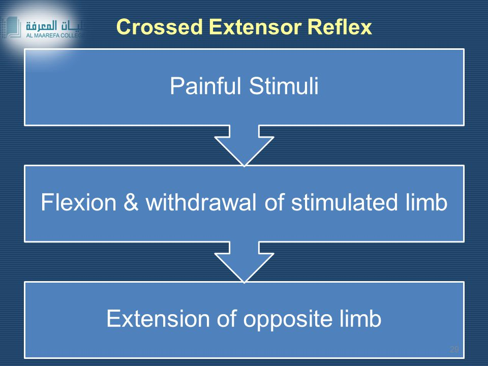 Crossed Extensor Reflex Extension of opposite limb Flexion & withdrawal of stimulated limb Painful Stimuli 29
