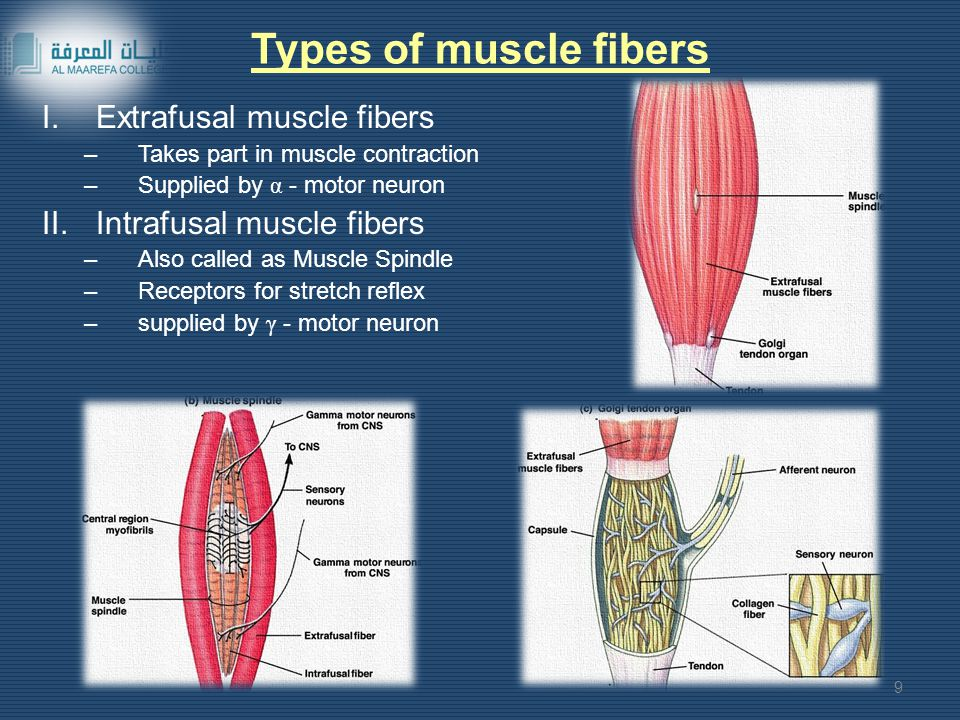 Types of muscle fibers I.Extrafusal muscle fibers –Takes part in muscle contraction –Supplied by α - motor neuron II.Intrafusal muscle fibers –Also called as Muscle Spindle –Receptors for stretch reflex –supplied by γ - motor neuron 9