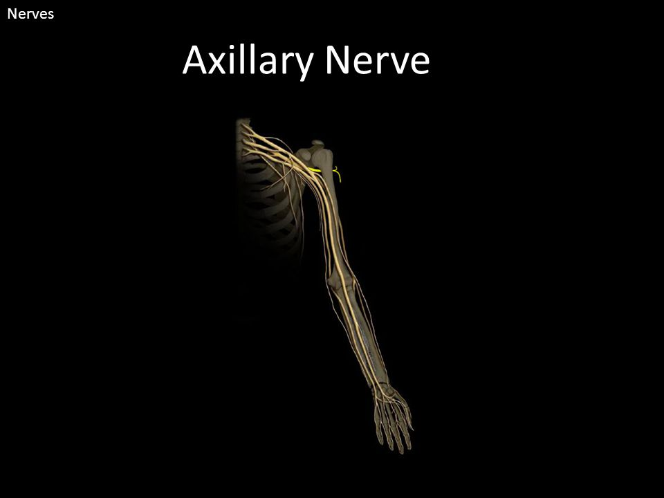 Axillary Nerve Nerves