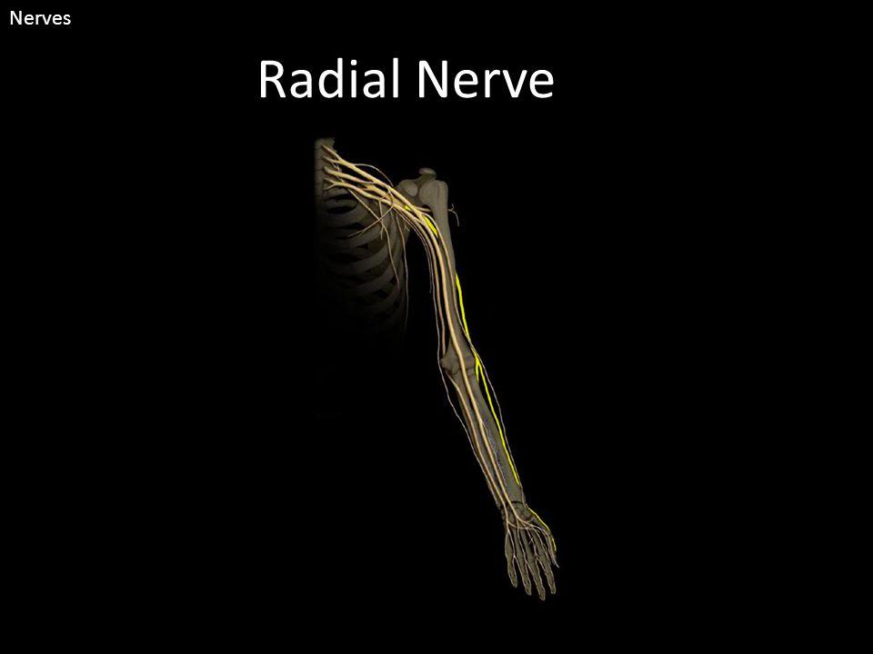 Radial Nerve Nerves